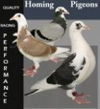 small_homing_pigeons_500x550.jpg