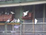 Kingslea One Loft Race 2010 Birds